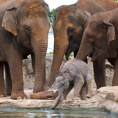 Baby Elephant (Tanya Puntti (SLR Photography Guide)) Tags: babyelephant