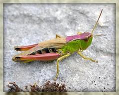 Cavalletta (Chorthippus parallelus) (paolo-55) Tags: macro nikon natura d300 cavalletta 105mmvrmicronikkor macromarvels natureselegantshots dragondaggerphoto chorthippusparalleleus