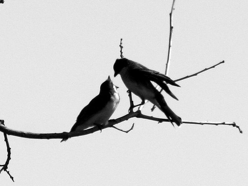 Kingbird Feeding Young B&W 20090813