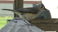 TuftedTitmouse2 (Mel Quin) Tags: birds mississippi titmouse