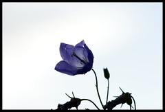 Blue - Brockadale Nature Reserve - West Yorkshire (Chris McLoughlin) Tags: uk flowers blue england flower macro nature closeup sony yorkshire 100mm wildflower westyorkshire pontefract a300 sal100m28 sonya300 sonyalpha300 alpha300 brockadale chrismcloughlin