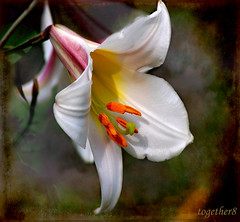 ~ white lily ~ (together8) Tags: flower texture nature lily spirit mygarden brava visualart oa greatphoto eot creativephotography beautifulshot laclassenonacqua gigashot specialtouch nikond40 dreamphoto excellentsflowers qualitypixels vosplusbellesphotos whitelilie goldenart naturescreations saariysqualitypictures together8 thedantecircle artistictreasurechest thebestofmimamorsgroups imagesforthelittleprince miasbest capturethefinest worldsartgallery weirenasfaves daarklands oracoob theadmirergroup thepyramidgroup thelittlebookoftreasures