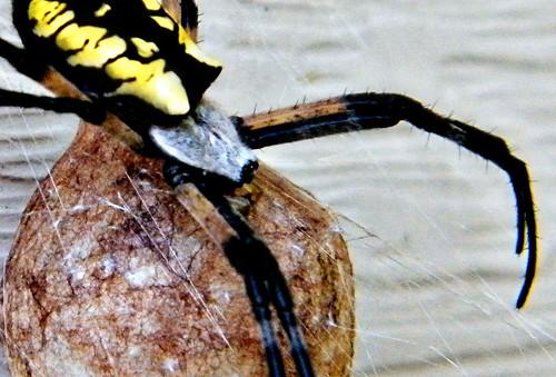 217:365 Garden spider and (*cringe*) egg sac