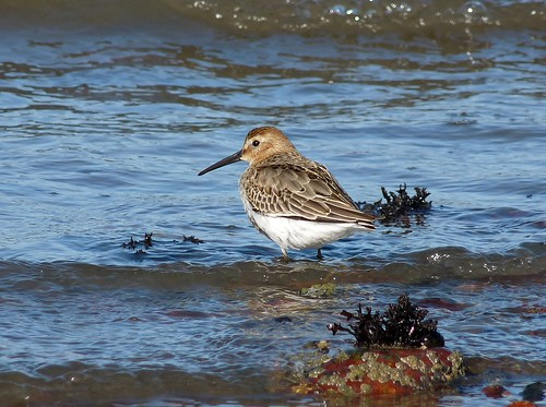 11467 - Dunlin at Fishguard Harbour