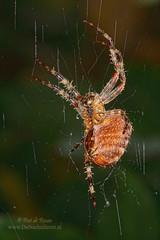 Garden Spider II (Peet de Rouw) Tags: macro spider gardenspider kruisspin peet blueribbonwinner sigma105mm denachtdienst peetderouw peetderouwfotografie gettyimagesbeneluxq1