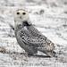 snowy owl (1st year) von steve courson