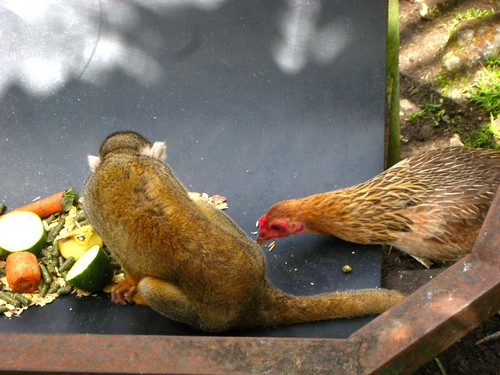 The chicken wants in on the spider monkey's food