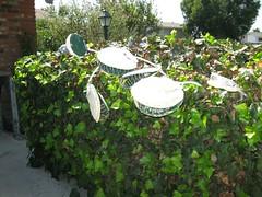 Venus flytraps - mansized