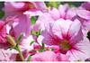 Pink and green.......... (annibel) Tags: pink flowers flower verde green nikon rosa petunias 2009 d60 nikond60 annibel abigfave colorphotoaward aplusphoto platinumheartaward platiniumphoto theperfectpinkdiamond annibel2009