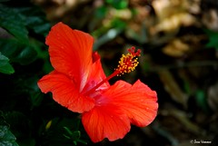 hibiscus (jesse.vanbrabant) Tags: red flower hibiscus rood bloem