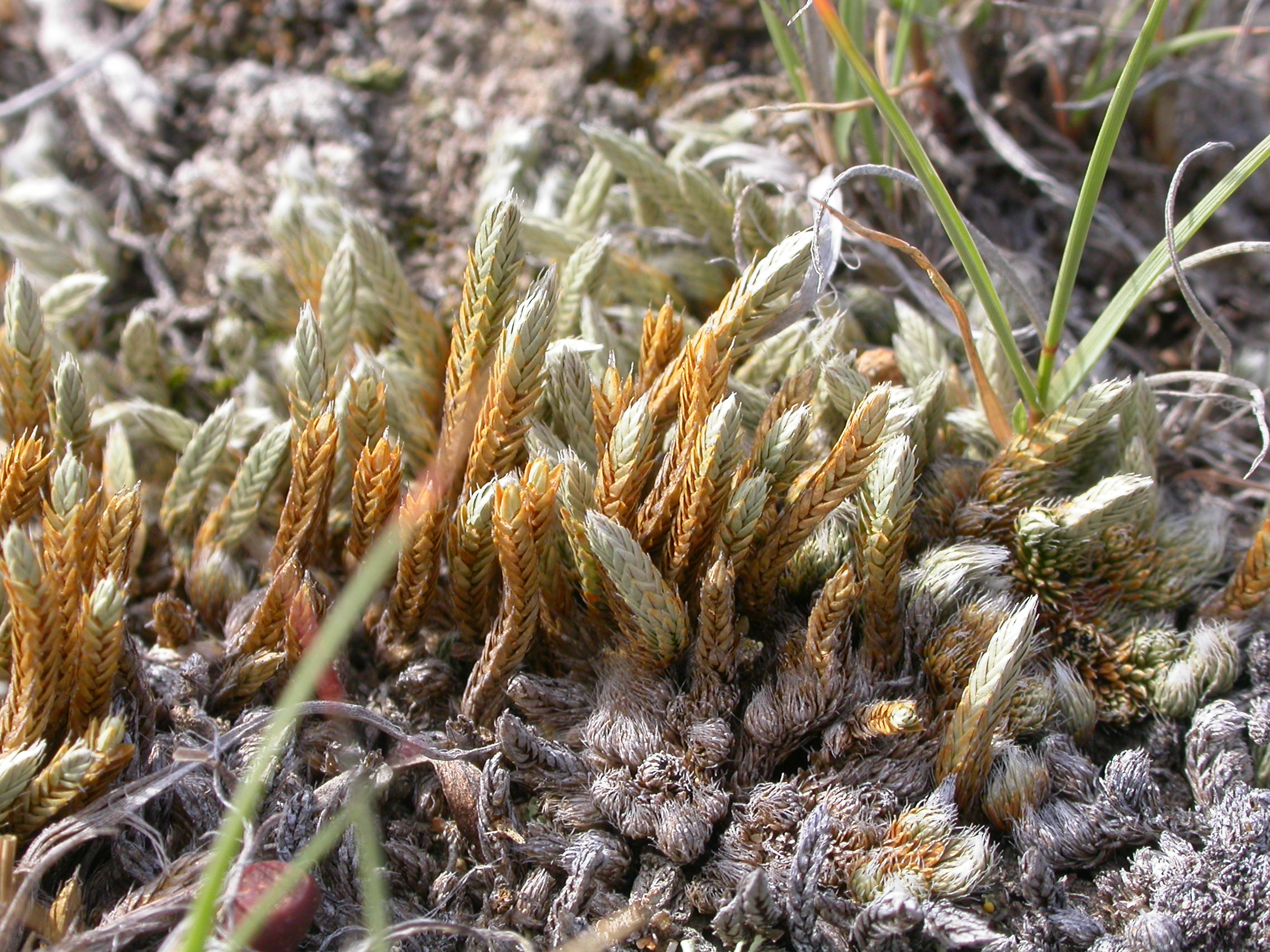 Image of Selaginella densa