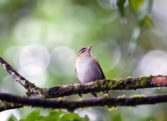 Juruviara (Schinke) Tags: brazil bird brasil minolta sony harry apo f45 dos ave serra passaro hs danilo 400mm vireo parnaso redeyed orgãos guapimirim a700 olivaceus schinke juruviara