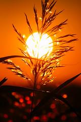 L'origine della vita / The origin of life (Explore!!!) (Pisa, Tuscany, Italy) (AndreaPucci) Tags: italy sun field marina italia bokeh pisa explore tuscany campo toscana sole spiga canoneos400 marinadipisa canonefs55250f456is andreapucci