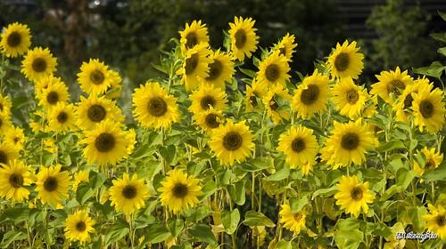 Sunflower (해바라기)