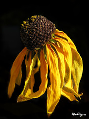 Black-eyed Susan (monteregina) Tags: flowers plants brown canada macro nature yellow closeup fleurs jaune garden petals flora patterns centre details shapes jardin dry center textures faded qubec wilted wildflowers dried withered plantae dying mygarden rudbeckia blackeyedsusan brun plantes flore shriveled flowerhead onblack sches monjardin ptales rudbeckiahirta formes fanes fonc fane fillframe sche yellowoxeyedaisy rudbeckies marquerite monteregina astraces browndaisy