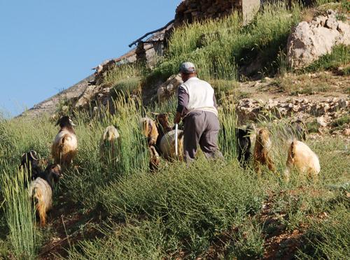 goatsgoingtopasture.jpg