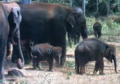930200 Family Values (rona.h) Tags: 1993 elephants srilanka february cacique orphange ronah