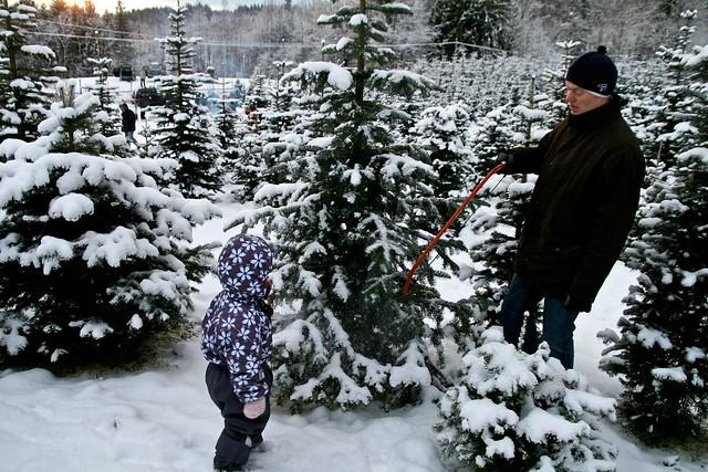 Juletre - kjøp og vedlikehold av juletrær