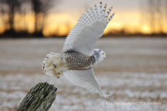 Flying away (Ralf Nowak) Tags: ontario canada bird nature birds animal fauna nikon snowy wildlife hamilton sigma explore raptor owl birdofprey stoneycreek bubo snowyowl ptak hfg d300 ptaki sowa sigmalens buboscandiacus scandiacus sowy niena nikond300 sowaniena