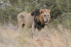 Near Lower Sabie (The Big5) Tags: africa nature animals southafrica wildlife lion lower mammals krugernationalpark kruger wildanimals sabie hungrylion 400d flickrbigcats