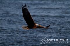 IMG_1487 (Scotriani (Scott Evans Photography)) Tags: rock river mississippi island eagle lock dam 14 bald 15 iowa davenport arsenal eagles ld bettendorf leclaire ld14
