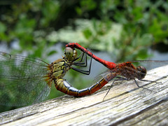 Dragonfly Vagrant Darter (Mating) - Sympetrum sanguineum (Batikart) Tags: travel light red summer vacation brown sun lake holiday black detail macro green rot eye texture nature animal yellow closeup fauna canon fence germany hair insect geotagged deutschland nationalpark wire europa europe dragonfly bokeh sommer wildlife urlaub leg natur wing meadow wiese august gelb mating grn braun makro libelle insekt tier 2010 mecklenburgvorpommern mritz libellulidae anisoptera waren ruddydarter mecklenburgwesternpomerania canonpowershota610 sympetrumsanguineum sympetrumvulgatum moorsee fluginsekt vagrantdarter gemeineheidelibelle viewonblack erythrommaviridulum mritznationalpark segellibelle batikart sympetrinae grosslibelle