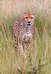 Cheetah Stalking, Maasai Mara, Kenya