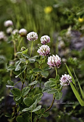 Clovers  in the morning (MarieFrance Boisvert) Tags: stacking clover wildflower clovers rh nx cloverflowers cloverblooms