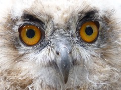 Featherby (Clare L H) Tags: bird nature animal wildlife ngc owl wow1 wow2 wow3 wow4 europeaneagleowl digitalcameraclub specanimal natureselegantshots thewonderfulworldofbirds thebestofmimamorsgroups mygearandme mygearandmepremium parkrosebirdsofpreycentre
