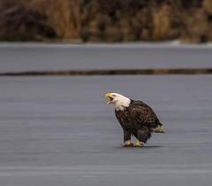 Eagle on Ice (Jan Crites) Tags: iowa leclaire nature river mississippiriver lockanddam14 eagle baldeagle americanbaldeagle raptor jancritesphotography february