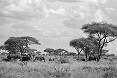The Elephants of Tarangire National Park (virtualwayfarer) Tags: tarangirenationalpark tarangire nationalpark wildlife animals wild safari adventuresafari photosafari canon dslr decembersafari tanzania africa tanzanian blackandwhite blackandwhitephotography subsahara subsaharanafrica eastafricariftvalley riftvalley elephant mammal elephants wildelephant beautifulelephant herd family familyofelephants africanelephant endangered dramaticlandscape opensky wideopen nature natgeoinpsired nationalgeographicinspired alexberger safariphotos adventuretravel solotravel travelinspiration photographyinspiration