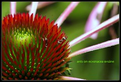 Ants on echinacea (LETHO 2706) Tags: flower schweiz blossom echinacea insects ants blume blüte picnik insekten ameisen jegenstorf canon450d bysäne ashowoff