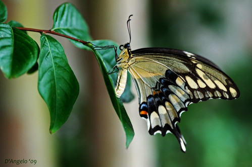 Swallowtail III