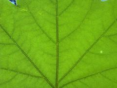 Leaf Close-up (Thom Erickson) Tags: macro leaf zn5 motozine