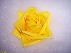 Floating (clayangel_sc) Tags: flower nature leaves rose yellow outside leaf soap floating bubbles petal bloom growing beautifulexpression