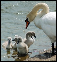 The proud parent.. (Levels Nature) Tags: uk family england baby cute nature swan cygnet somerset cygnets muteswan chewvalleylake specanimal saariysqualitypictures