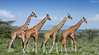 Happy Together (Ben Heine) Tags: giraffe girafe giraf benheine bigfive kenya africa wildanimals animauxsauvages dieren troupeau nature follow suivre poem hubertlebizay safari travel voyage discover tomorrow symbolism photomontage walk marcher relax peaceful family brothers famille composition petersquinn poet nikond70 colours harmony surrealism unreal skin background buisson bush green breath frredom ecosystem infotheartisterycom print copyrights art environment repetition group mothernature capture instant imagehunter chasseurdimage beatles abbeyroad albumcover parody zebracrossing 1969photoshoot iainmacmillan paulisdead urbanlegend music style