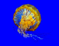 "Jelly Fish......EXPLORED 7Aug09 ("""" Arun) Tags: fish oregon portland aquarium nikon jellyfish explore newport jelly oregoncoast frontpage arun us101 oregoncoastaquarium potofgold d90 explored nikond90 luxtop100"