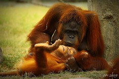 MUAH (Christian Inoferio) Tags: orange love zoo monkey kiss mother orangutan muah motherlove