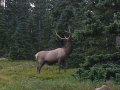 Feeding Elk 1
