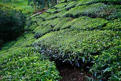Tea Plantation (ajayjorge) Tags: cameronhighlands teaplantation teamountain teafarming