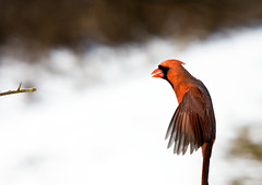 Northern Cardinal (Edward Mistarka) Tags: bif cardinaliscardinalis northerncardinal photocontesttnc09 cardinalflying edwardmistarka