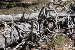 Twisted tree branches (Cyborglibrarian) Tags: trees newmexico eaglesnest