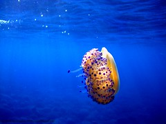 Underwater beauty (CyboRoZ) Tags: sea beautiful beauty island jellyfish mediterranean mediterraneo mare jelly sicily lovely creature medusa sicilia eolie alforreca dgua mduse meduse sicile mes filicudi cotylorhiza tuberculata aguavivas   celenterati meduusa medza  medza aguamalas  polttiaiselimet scifomedzos mesdgua