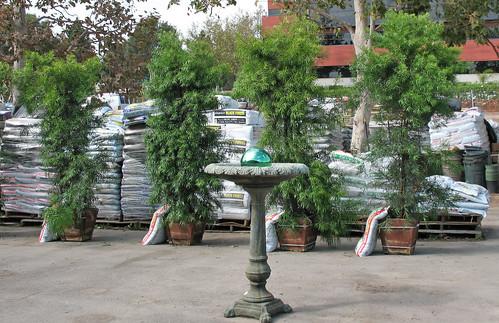 boxed podocarpus trees