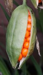 Flag Iris Seed Pod