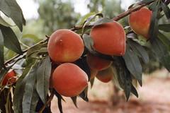 FPM104 Pêssego, variedade Douradão (Fernando Picarelli Martins) Tags: frutas peach pessegueiro pêssego prunuspersica institutoagronômicodecampinas variedadedouradão douradão iac678283