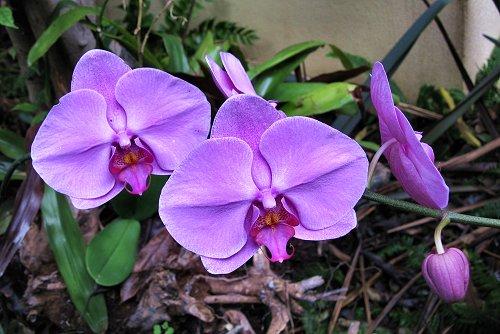 Phalaenopsis x hybridus (rq) - 06