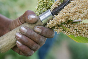 Sweet sorghum: utilizing every 'drop'