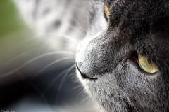 Theodor'2 (anka.anka28) Tags: eye animal cat kot oko theodor 450d canon450d